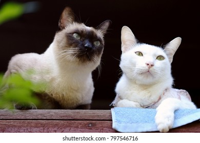 Siamese cat and white cat sitting on the window.