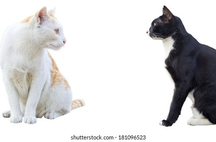 Siamese cats, black and white , isolated , encounter each other