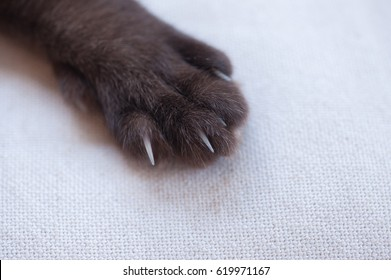 Siamese cat's nails. close up picture