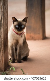Siamese cat,Thailand cat,Close up.Cute cat