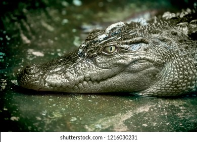 Siamese crocodile resting with eyes open