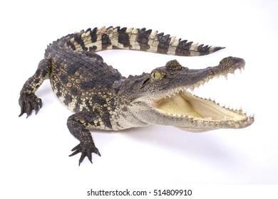 Siamese crocodile,Crocodylus siamensis