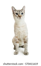 Siamese crossbreed cat sitting on white background