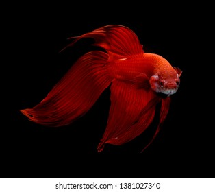 Siamese fighting fish, Betta fish isolated over black background