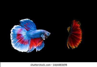 Siamese fighting fish or betta isolated on the black babkground