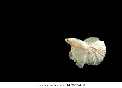 Siamese fighting fish  (Betta)  isolated on black background