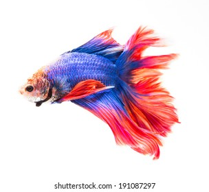 siamese fighting fish , betta isolated on white background.