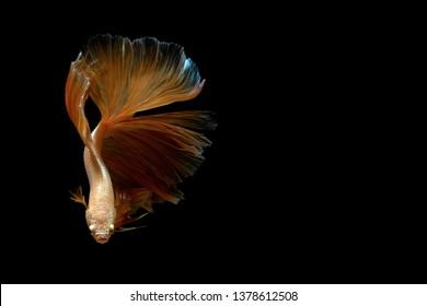 Siamese fighting fish betta on black background
