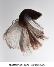 Siamese fighting fish, betta fish over white background