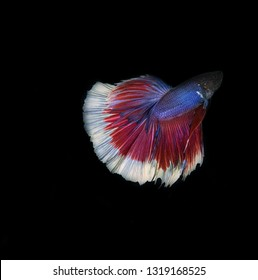 The Siamese fighting fish (Betta splendens), commonly known as the betta, is a popular fish in the aquarium trade. Bettas are a member of the gourami family and are known to be highly territorial.