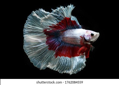 """The Siamese fighting fish (Betta splendens) also known as the betta. Thailand's council of ministers confirmed """"Siamese fighting fish"""" as Thailand's"""