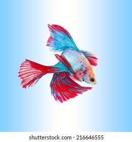 siamese fighting fish, betta splendens, Double Half Moon Betta