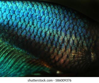 Siamese fighting fish (Betta splendens) blue shiny scales close up