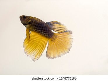 Siamese Fighting Fish Blue Yellow Halfmoon Betta Splendens.In captivity they can be fed a varied diet of pellets or frozen foods such as brine shrimp, bloodworms, daphnia and many others.