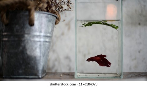 Siamese fighting fish in a clear fish tank.