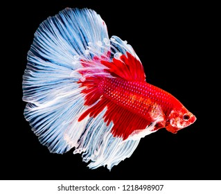 "Siamese Fighting fish ""Fancy Halfmoon Betta"", Beautiful of siam betta fish in thailand. isolated on black background."