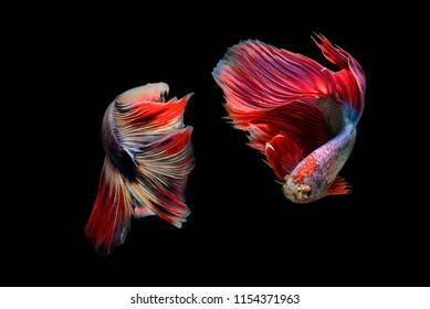 Siamese fighting fish (Halfmoon),fighting fish,Betta splendens