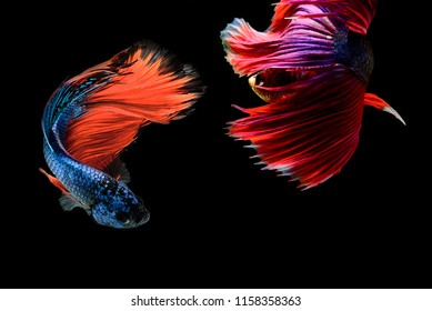 Siamese fighting fish (Halfmoon),fighting fish,Betta splendens