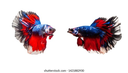 Siamese fighting fish isolated on a white background