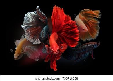 siamese fighting fish isolated on black background. Dumbo betta fish