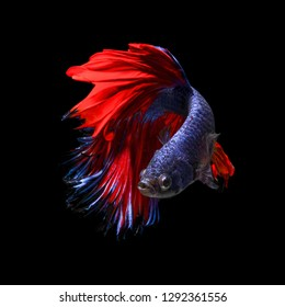 Siamese Fighting Fish also known as Betta is seen in an aquarium in Chicago, United States. Bettas are the most common species in the world-wide aquarium trade.
