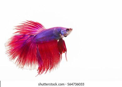 The Siamese fighting fish, also sometimes colloquially known as the Betta is  one of the most popular aquarium fish, and has been part of the hobby for a very long time
