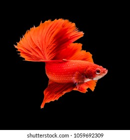 SIAMESE FIGHTING FISH is swimming in water on black background