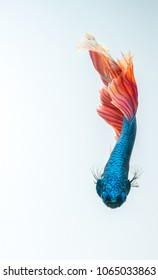 siamese fighting fish, thai betta fish swimming downward isolated on white background