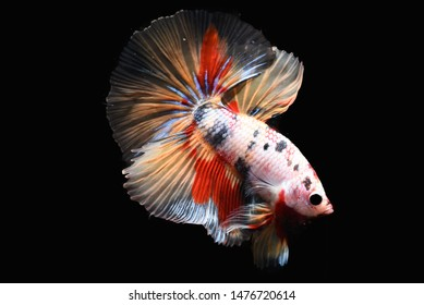 Siamese fighting fish in Thailand,such as betta half moon,short fin betta,crown tail betta,giant betta,wild breed betta