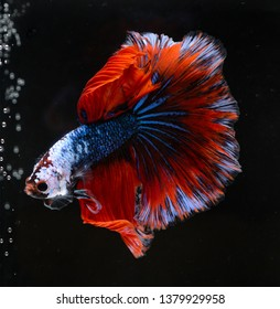 siamese fighting, Thai betta fish with beautiful white and blue and red  colors Is moving in various gestures that are ready to fight In the black background isolate, halfmoon fish