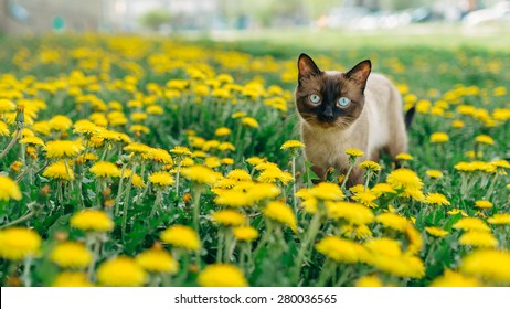 Siamese handsome cat who walks through the meadow with yellow dandelions.