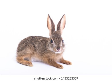 Siamese hare,Lepus peguensis, mamal of South east Asia. The hare is a small to moderate sized species.The Burmese hare is nocturnal and feeds on grass, twigs and bark.