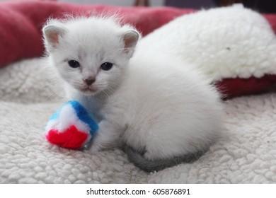 siamese kitten images stock photos vectors shutterstock