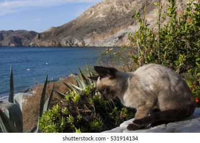 siamese kitten by the beach of San Pedro southern Spain, Andalusia