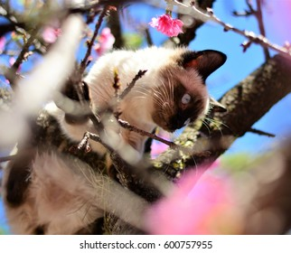 Siamese kitten looking down from Sakura tree