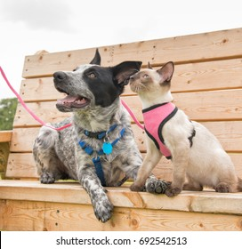 Siamese kitten and a Texas Heeler on a wooden park bench, looking up to the left