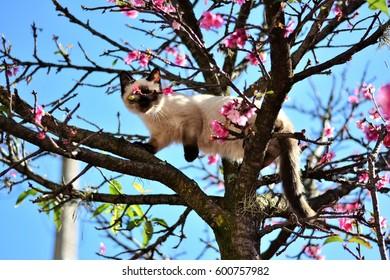 Siamese kitten walking up the tree from among Sakura's flowers