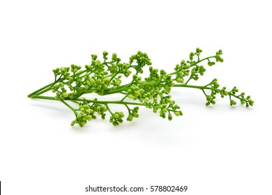 Siamese neem tree, Nim, Margosa, Quinine (Azadirachta indica A. Juss. Var. Siamensis Valeton) isolated on white background