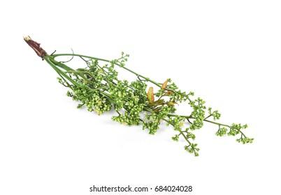 Siamese neem tree, Nim, Margosa, Quinine (Azadirachta indica A. Juss. Var. Siamensis Valeton)