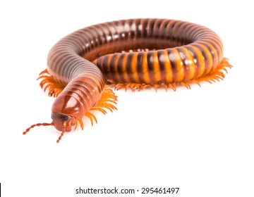 Siamese Pointy Tail Millipede