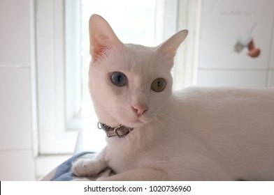 The Siamese Pure White cats face. The cat odd eyes has one golden eye and one blue one. Concept cute animal