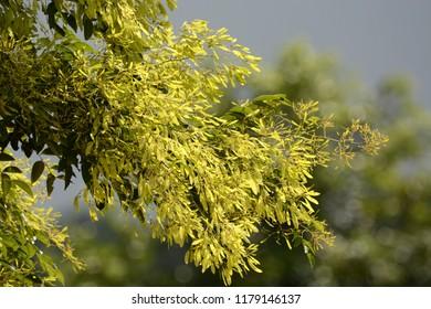 Siamese Rosewood fruit