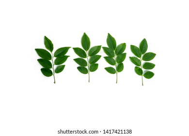 Siamese Rosewood leaves isolated on white background.Dalbergia cochinchinensis Pierre.Green leaf.