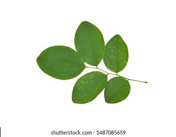 Siamese Rosewood Leaves isolated on white background clipping path