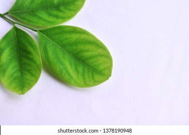Siamese Rosewood leaves on a white background