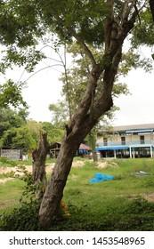 Siamese Rosewood, Thailand Rosewood, Tracwood, Black Wood, Rose Wood