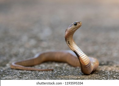 Siamese Spitting Cobra: is a venom spitting snake and this one is still a baby and yet it was aggressively spitting as it was found.