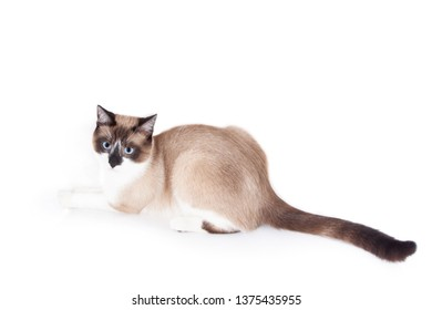 Siamese ( thai ) cat isolated on the white background