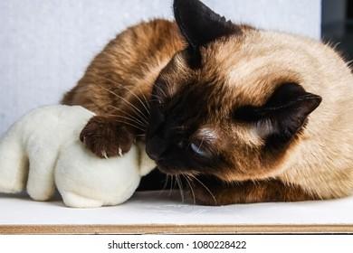 Siamese Thai cat plays with a teddy bear. Claws, teeth, aggression.