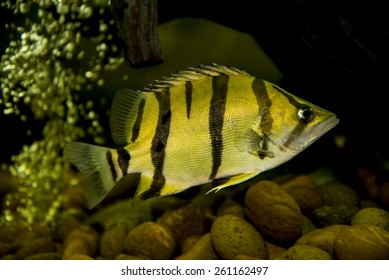 Siamese Tiger-fish